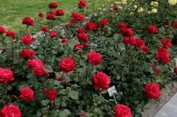 Hal Mengenai Perawatan Bunga Mawar Sendiri